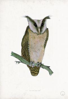 Sri Lanka Bay Owl - artist signed print